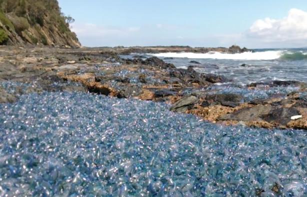 Ядовитые медузы превратили побережье Австралии в инопланетный пейзаж