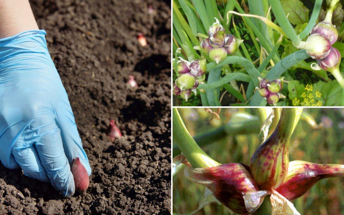Многоярусный лук: особенности посадки, ухода и размножения