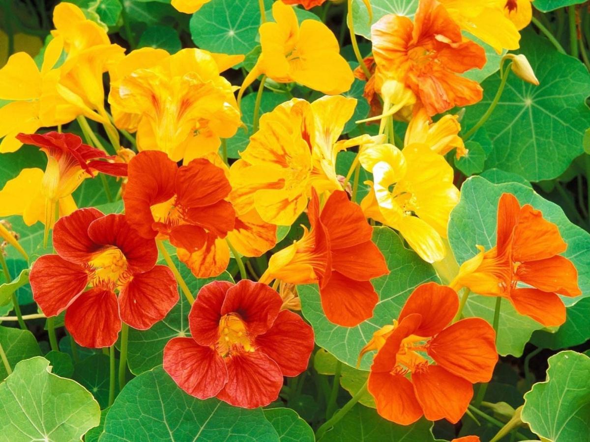 Оранжевые цветы садовые