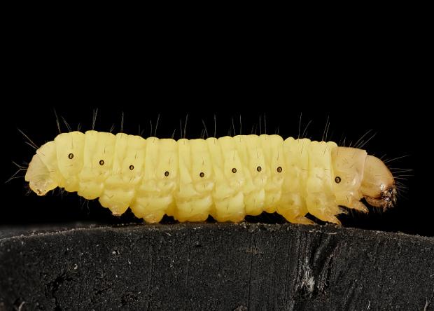 Гусеницы приспособились к скоростному перевариванию полиэтилена