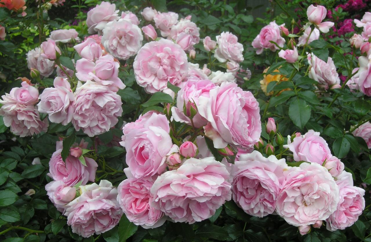 Какие сорта роз лучше всего сажать в средней полосе России