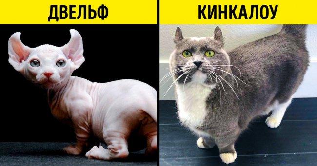 16пород домашних кошек, окоторыхвы, скорее всего, никогда неслышали
