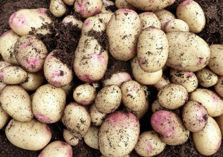 Какие удобрения вносить при посадке картофеля?