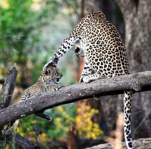 Из жизни леопардов — когда самка вернулась, мы увидели, как ликовали от счастья ее котята...