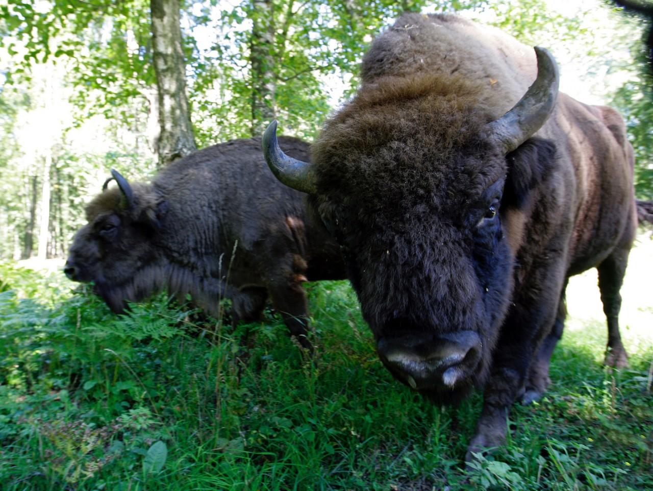 Германия против дикой природы. Власти убили появившегося впервые за 250 лет дикого зубра