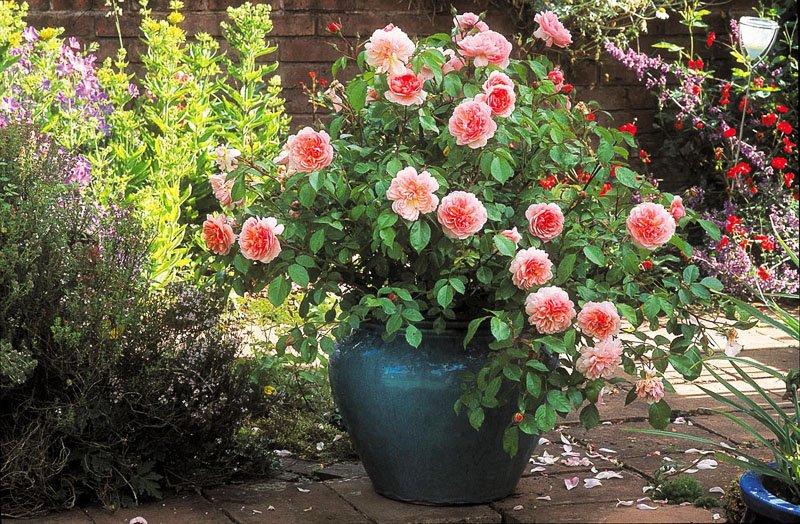 Роза в керамическом горшке