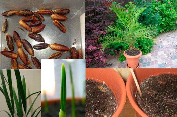 Финик из косточки: как посадить и вырастить в домашних условиях