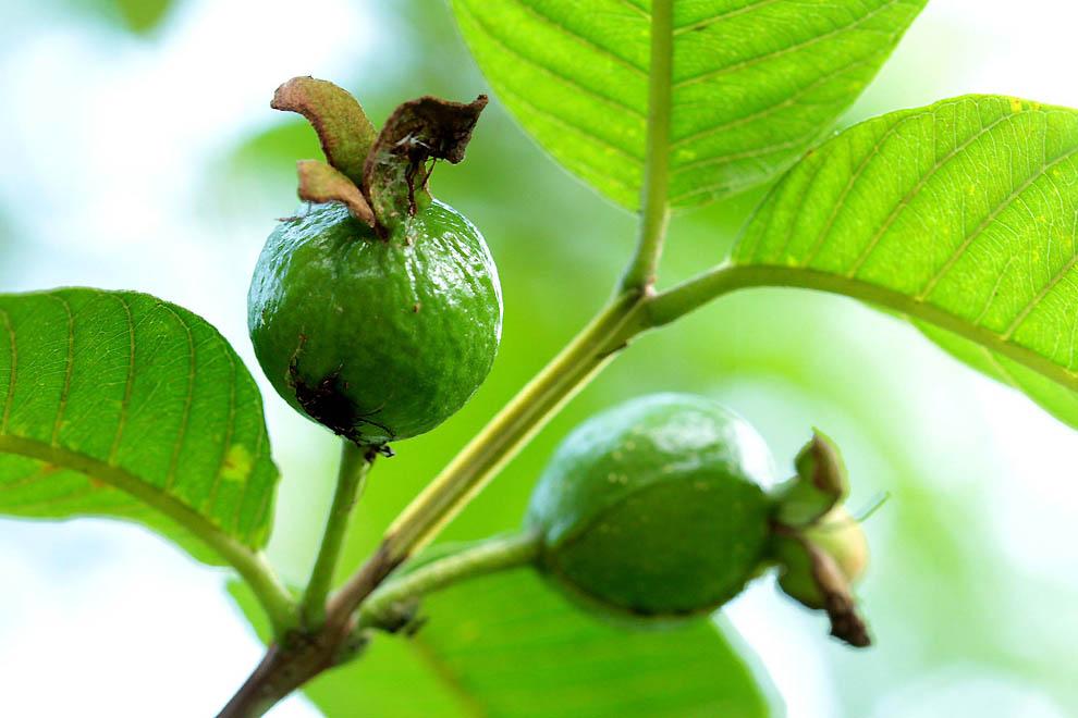 1105 Экзотические фрукты