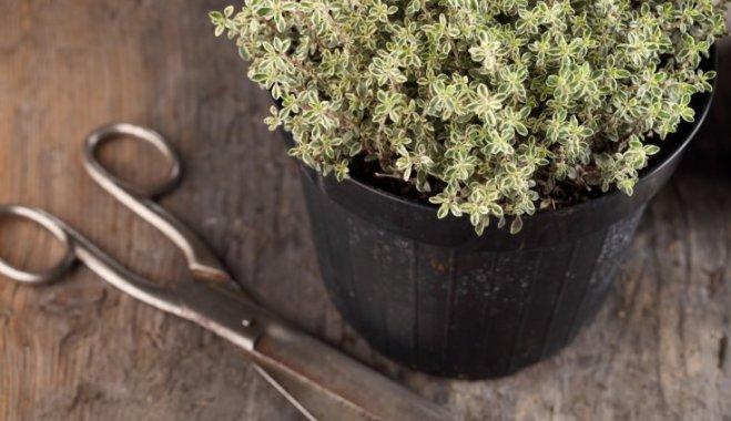 Домашняя аптечка на подоконнике: что выращивать по весне