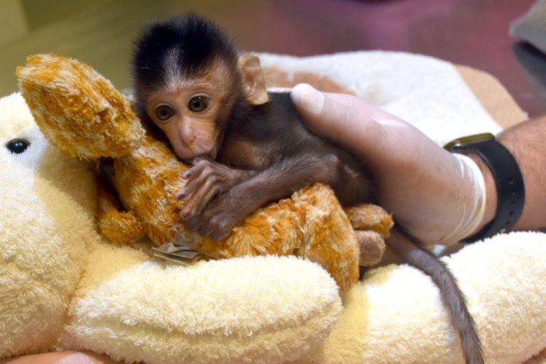 Крошечная обезьянка считает плюшевого жирафа своей мамой