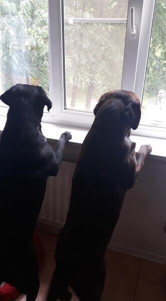 Собачата встречают папку.