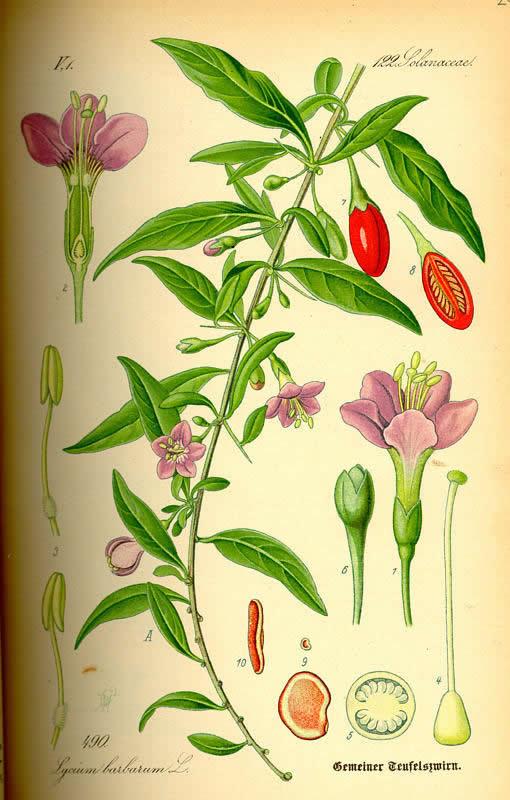 Волшебные ягоды годжи с куста всем знакомой дерезы