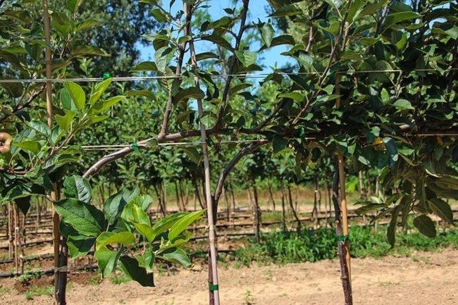 Живая стена из яблони своими руками