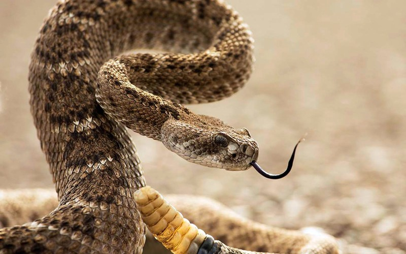 Распространенные мифы о змеях