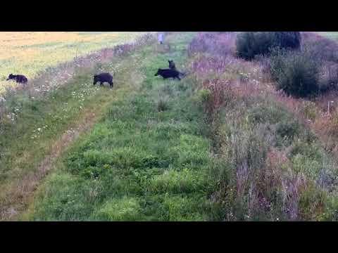 Свинская эмиграция: 63 диких кабана нелегально перебежали из Белоруссии в Литву