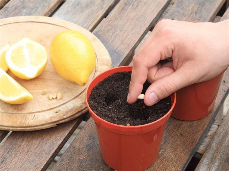 Вырaщивaем домa лимон из косточки.