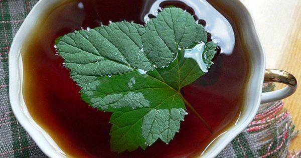 Из листьев черной смородины не первый год делаю ферментированный чай. Хочу поделиться рецептом!