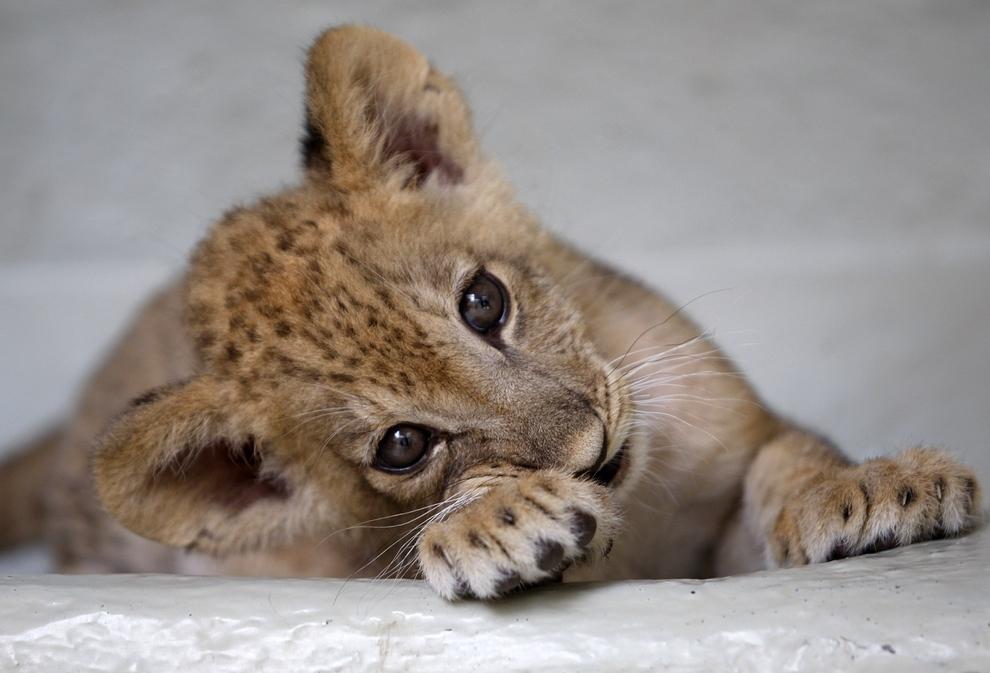 Самые милые детеныши животных. 21 фото