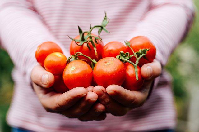 Эксперт: 100 килограммов томатов за сезон — не роскошь для умелого дачника