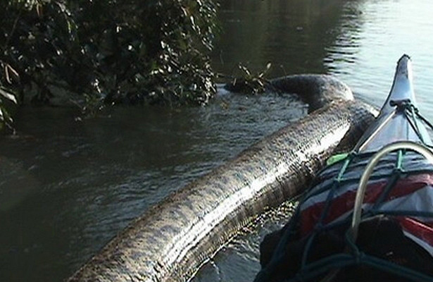Гигантская анаконда— жуткая находка рыбаков