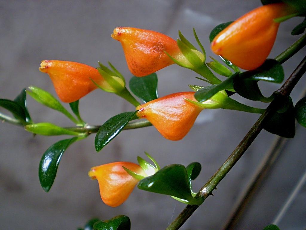цветок петушок комнатный фото