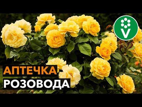 Как вырастить здоровые и красивые розы?