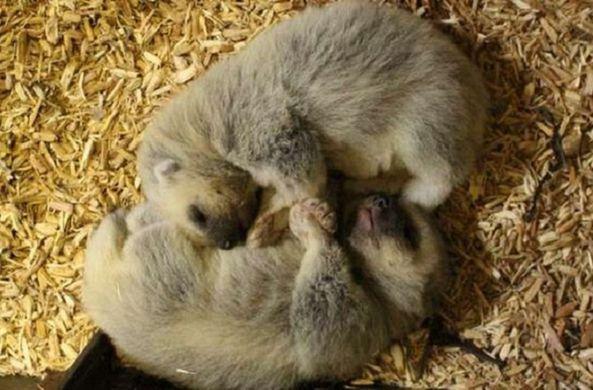 В британском зоопарке родились малыши-росомахи