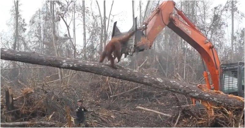 В Индонезии разъяренный орангутан попытался защитить лес от экскаватора