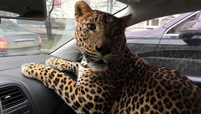 В Екатеринбурге леопард проехал в такси