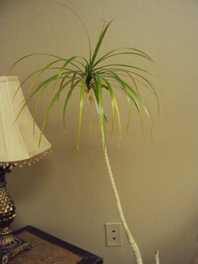 Длинные и тонкие побеги на комнатных растениях