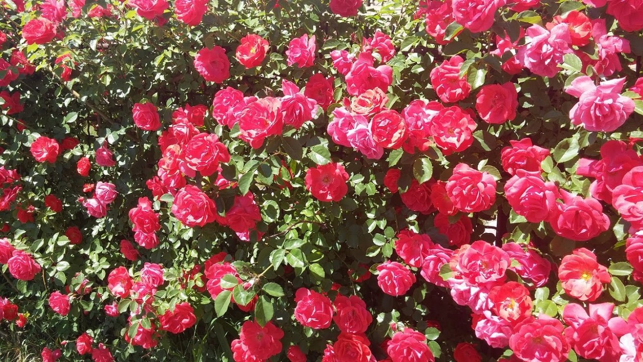 Картинки по запросу розы в саду обрезка
