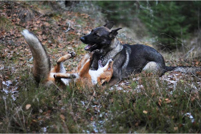 Лис и пес