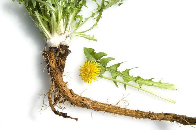 Секреты одуванчика. Чем полезны корни сорняка