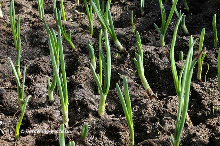 После подкормки лук становится толще и меняет светло-зеленый цвет на сочно-зеленый