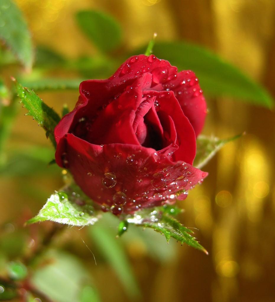 """Из серии """" Цветы на моём окне"""" Роза. Начало цветения."""