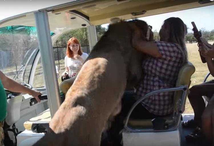Лев залез прямо в машину, не оставив туристам никаких шансов