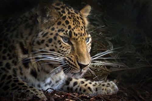 Из Шотландии в Россию могут привезти дальневосточного леопарда, чтобы выпустить его в дикую природу