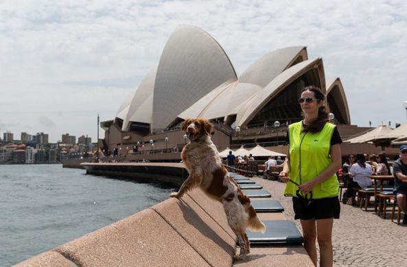 Собачий патруль защитит австралийцев от чаек