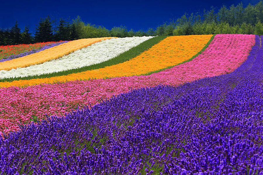 Необычайная радужная ферма Томита, Япония
