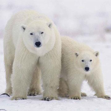 Животные от А до Я. Медведи (2)