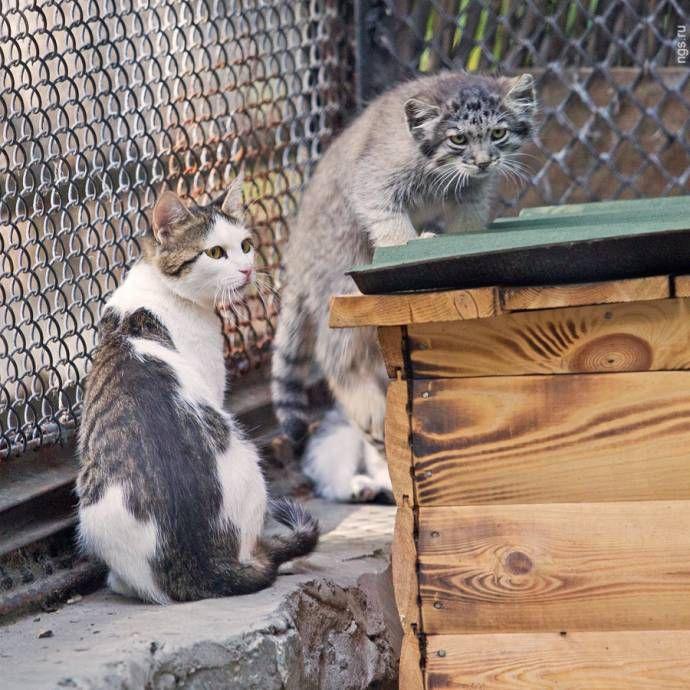 """Обычная кошка """"усыновила"""" двух детенышей манула животные, кошка, манул, усыновление"""