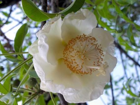 Цветение Баобабов на Мадагаскаре