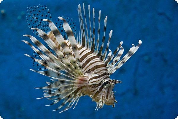 крылатка рыба картинки