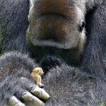 Альфа-горилла нянчится с крохотным зверьком. Умилительное видео