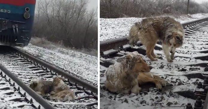 Собака застряла на железнодорожных путях в течение 2 дней. Брат пытается уберечь ее от холода и голода, пока не прибудет помощь!