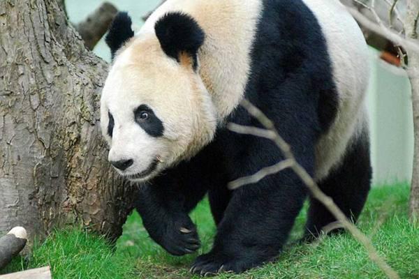 Большие панды могут определи…