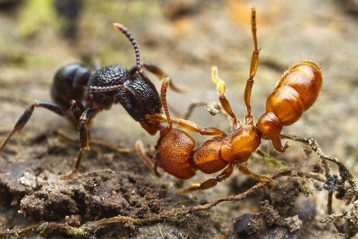 Рабство в муравьином царстве