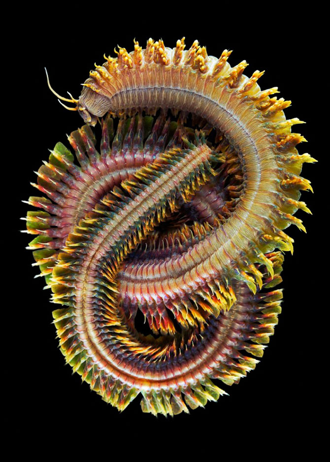 Semyonov05 Морские организмы на фотографиях Александра Семёнова