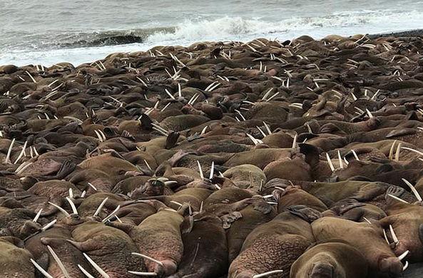 Более тысячи моржей окружили поселок на Аляске