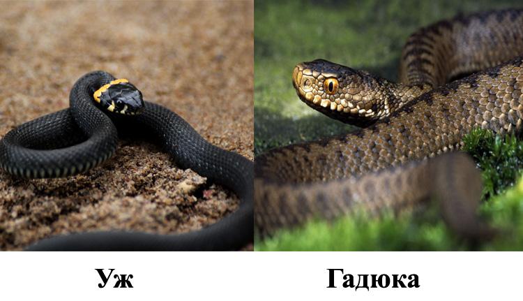 Безопасный уж или ядовитая змея
